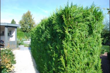 Westerse Levensboom 'Brabant'