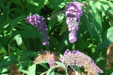 Vlinderstruik 'Lochinch'