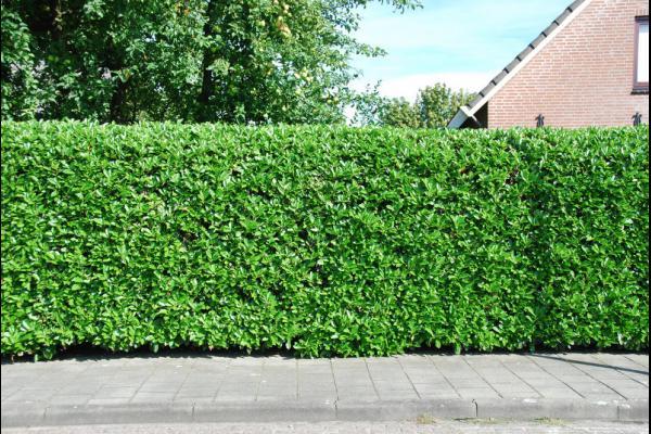 prunus lauroceracus 39 rotundifolia 39 laurier 39 rotundifolia 39. Black Bedroom Furniture Sets. Home Design Ideas