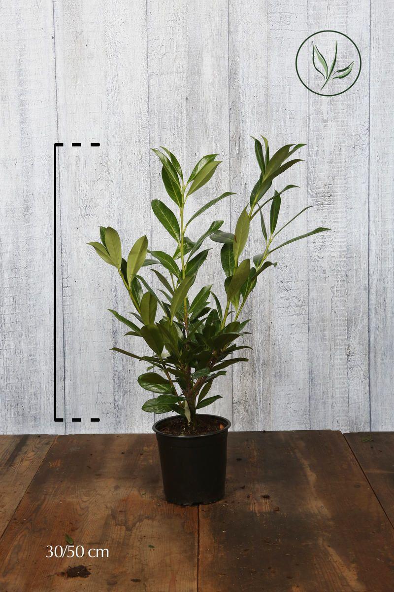 Laurier 'Caucasica'  Pot 40-50 cm