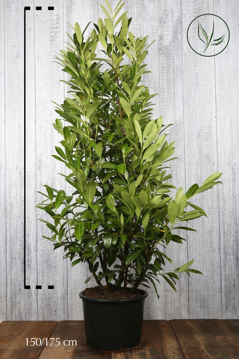 Laurier 'Caucasica'  Pot 150-175 cm Extra kwaliteit