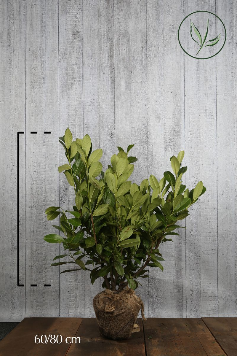 Laurier 'Rotundifolia'  Kluit 60-80 cm