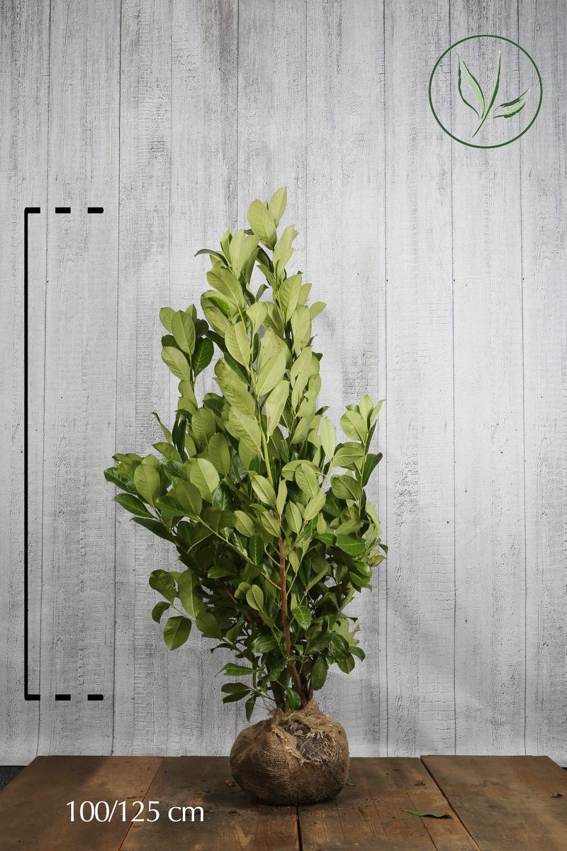 Laurier 'Rotundifolia'  Kluit 100-125 cm Extra kwaliteit