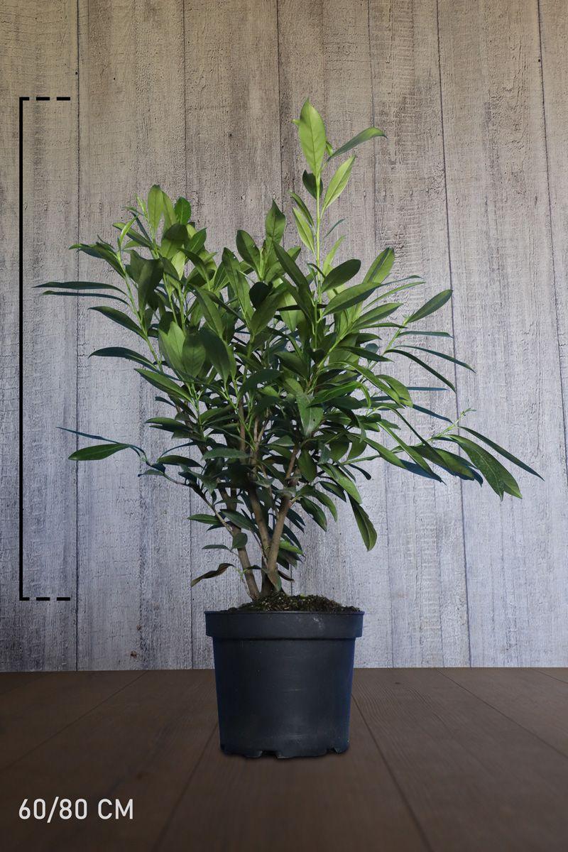 Laurier 'Caucasica'  Pot 60-80 cm