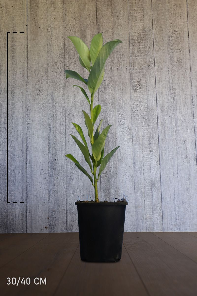 Laurier 'Rotundifolia'  Pot 30-40 cm