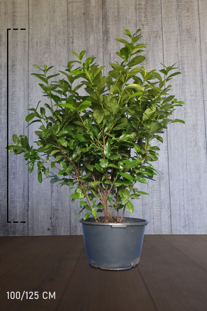 Laurier 'Rotundifolia'  Pot 100-125 cm