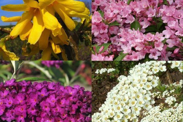 Hoge bloeiende haag 1