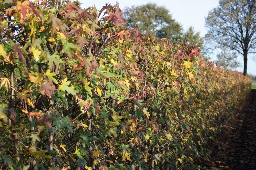 Amberboom 'Worplesdon'