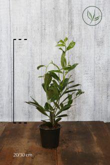 Laurier 'Caucasica'  Pot 20-30 cm