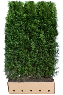 Westerse Levensboom 'Smaragd' Kant-en-klaar Hagen 180-200 cm Kant-en-klaar Hagen