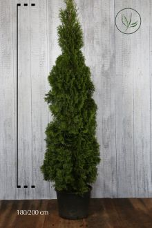 Westerse Levensboom 'Smaragd' Pot 180-200 cm Extra kwaliteit