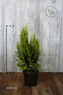 Gele Californische cipres Pot 40-60 cm