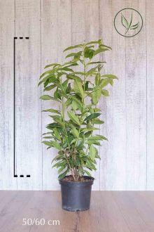 Laurier 'Genolia'® Pot 50-60 cm