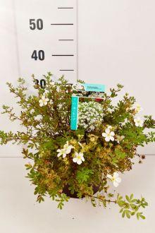 Heesterganzerik 'Abbotswood' Pot 30-40 cm