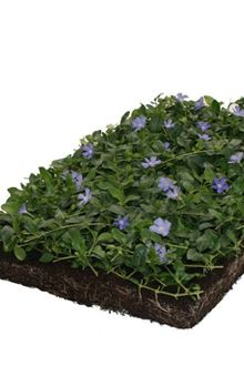 COVERGREEN® Vinca Minor bodembedekker in plantenmat (38 x 57 cm)