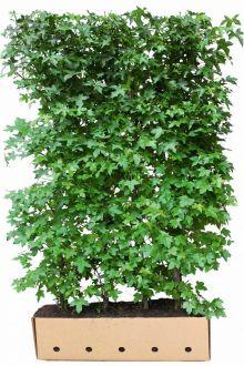 Amberboom Kant-en-klaar Hagen 200 cm Extra kwaliteit