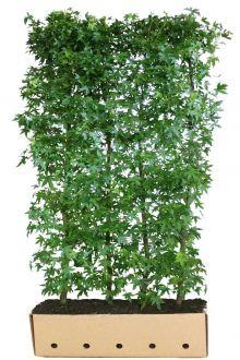 Amberboom 'Worplesdon' Kant-en-klaar Hagen 200 cm Extra kwaliteit