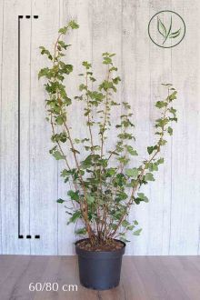 Ribes 'King Edward VII' Pot 60-80 cm