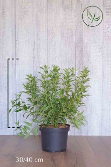 Bruidsbloem Pot 30-40 cm