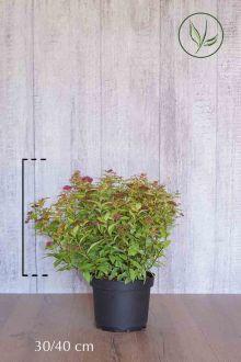 Japanse spierstruik 'Goldflame' Pot 30-40 cm