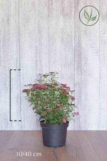 Japanse spierstruik 'Anthony Waterer' Pot 30-40 cm