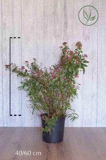 Japanse spierstruik 'Anthony Waterer' Pot 40-60 cm