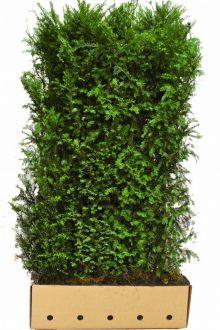 Taxus baccata Kant-en-klaar Hagen 200 cm