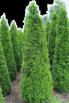 Westerse Levensboom 'Smaragd' Kluit 200-225 cm Extra kwaliteit