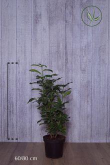 Laurier 'Genolia'® Pot 60-80 cm