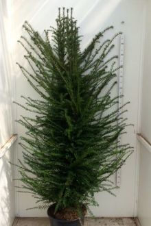 Taxus baccata Pot 175-200 cm Extra kwaliteit