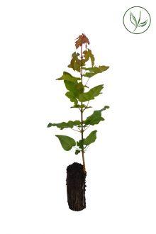 Veldesdoorn of Spaanse Aak Plugplanten 20-40 cm Extra kwaliteit