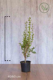 Haagliguster Pot 40-60 cm