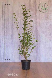 Haagliguster Pot 60-80 cm