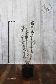 Wintergroene Liguster 'Atrovirens' Pot 20-40 cm