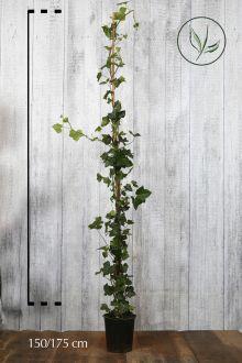 Ierse klimop Pot 175-200 cm