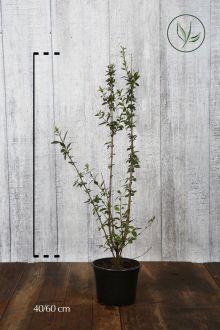 Wintergroene Liguster 'Atrovirens' Pot 40-60 cm