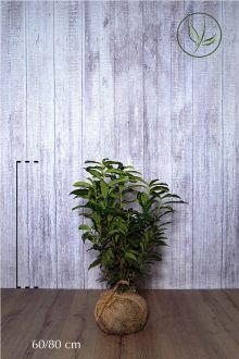 Laurier 'Genolia'® Kluit 60-80 cm Extra kwaliteit