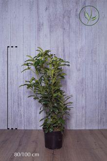Laurier 'Genolia'® Pot 80-100 cm