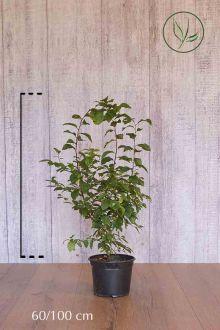Sleedoorn Pot 60-100 cm