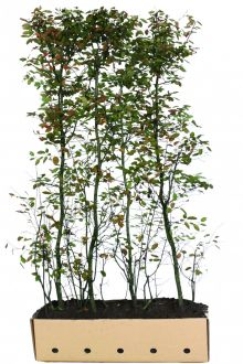 Krentenboom Kant-en-klaar Hagen 200 cm Kant-en-klaar Hagen