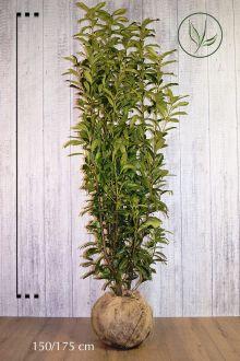 Laurier 'Genolia'® Kluit 175-200 cm Extra kwaliteit