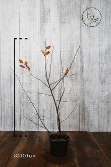 Krentenboom Pot 80-100 cm