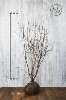 Krentenboom Kluit 125-150 cm