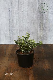 Kardinaalsmuts 'Emerald 'n Gaiety' Pot 20+ cm