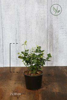Japanse Kardinaalsmuts  Pot 25-30 cm