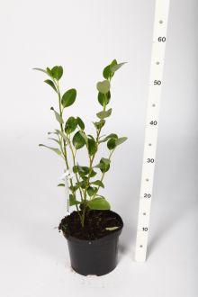 Griselinia littoralis Pot 40+ cm
