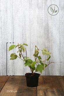 Eikenblad Hortensia Pot 25-30 cm