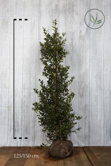 Hulst 'Alaska'  Kluit 125-150 cm Extra kwaliteit