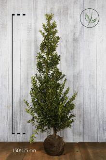 Hulst 'Alaska'  Kluit 150-175 cm Extra kwaliteit