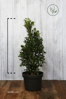 Hulst 'Heckenfee' Pot 60-80 cm Extra kwaliteit